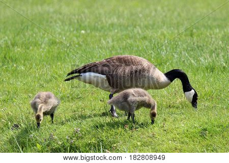 A mother goose with her two baby goslings grazing in a meadow.