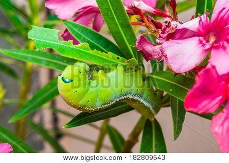 Green Caterpillar [Daphnis nerii] on Sweet Oleander [Nerium oleander]
