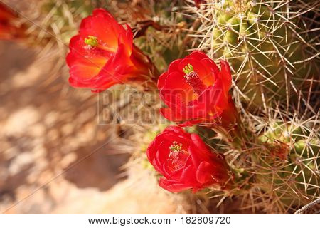Claret Cup cactus flowers bloom in the Utah desert.