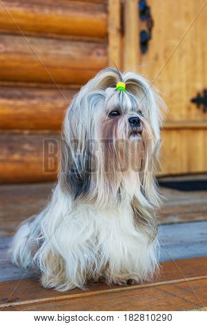 Shih tzu dog sitting at house wooden door