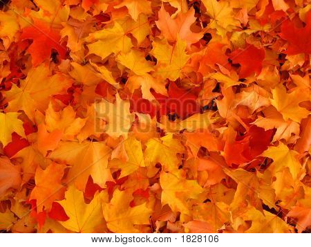Autumn, Maple Leaves.