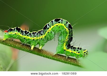 cute caterpillar on leaf in a garden poster