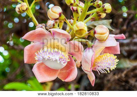 Closeup To Shala Flower, Cannonball Tree [shorea Robusta]