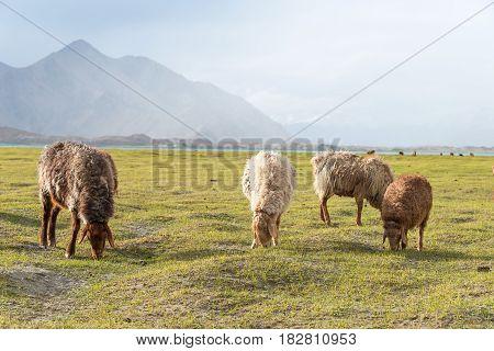 Xinjiang, China - May 20 2015: Sheep At Karakul Lake. A Famous Landscape On The Karakoram Highway In