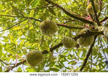 Ant eye view of fresh durian fruits king of tropical fruit on its tree in the orchard