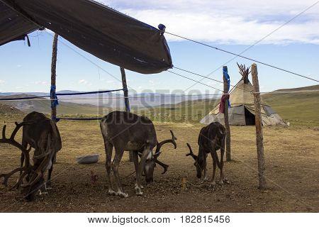 Reindeers eat grass in Mongolia. Mongolian Nomadic life