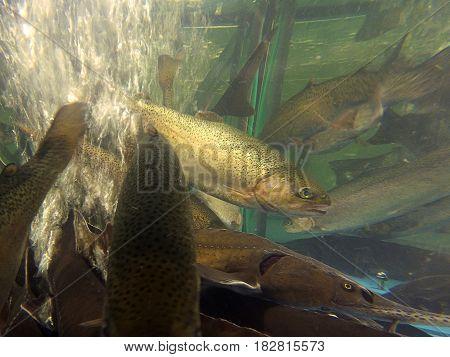 Fish trout floats in the aquarium store