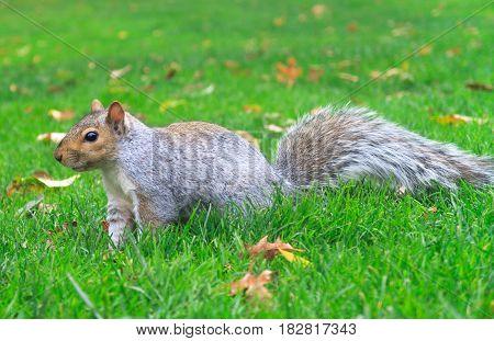 Squirrel walking in grass in autum usa