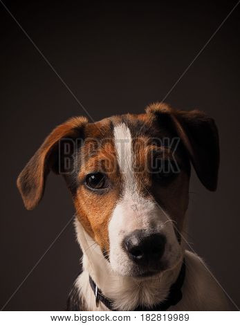 Studio portrait of a cute Jack Russell terrier puppy