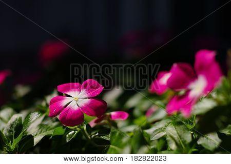 Nice pink flower in daylight with dark background