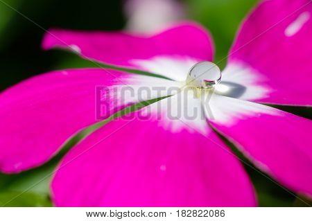 Pink flower with water drop in pistil in daylight (1)