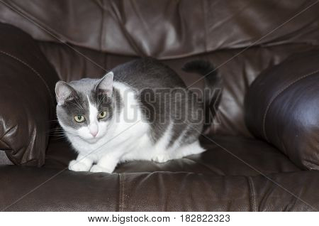 Cute grey and white Snowshoe cat crouched on a leather chair.
