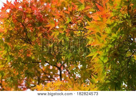 Red And Yellow Maple Leaf Background