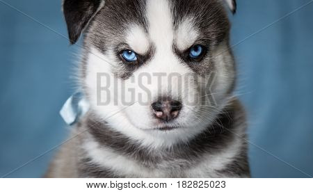 Puppy Siberian Husky with blue eyes. Portrait of a puppy close-up on a blue background.