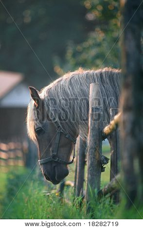 Austrian Haflinger