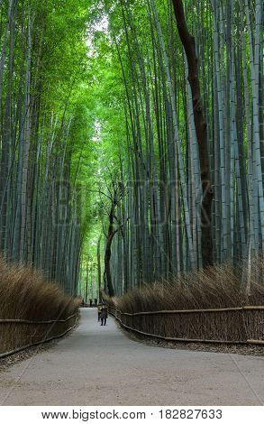 Green bamboo grove at Arashiyama touristy distric, Kyoto prefecture in Japan