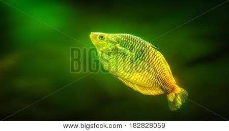 Beautiful green and yellow swimming fish temptation