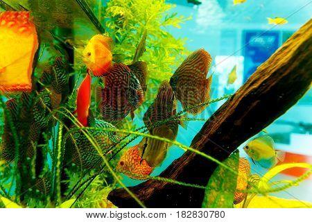 Colorful aquarium fish in aquarium. Green and orange fish