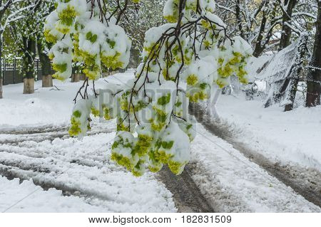 Blossoming tree branch with fresh foliage after April snow storm in Dnepr city Ukraine