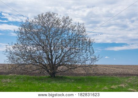Lonely wild branchy walnut tree against blue cloudy sky at early spring season in Ukraine