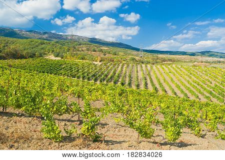 Rows of young vineyards in Crimean mountains near Gurzuf resort.