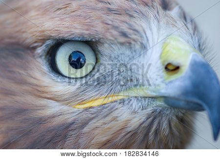A Long-legged Buzzard's (Buteo rufinus) eye with cage reflection in it.