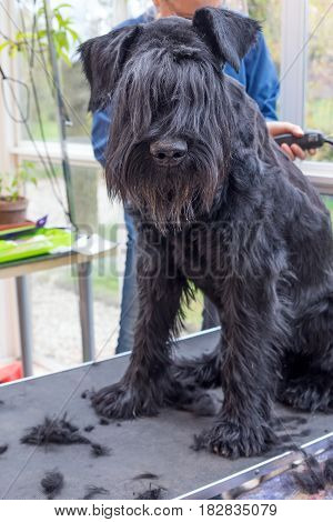 Grooming the ridge of the Giant Black Schnauzer dog. The dog is sitting on the table. All potential trademarks are removed.Vertically