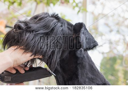 Closeup view of grooming the neck of the Giant Black Schnauzer dog by electrical razor. All potential trademarks are removed.