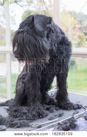 Giant Black Schnauzer dog is standing on the grooming table and is looking on the pile of cut dog hair. Vertically.