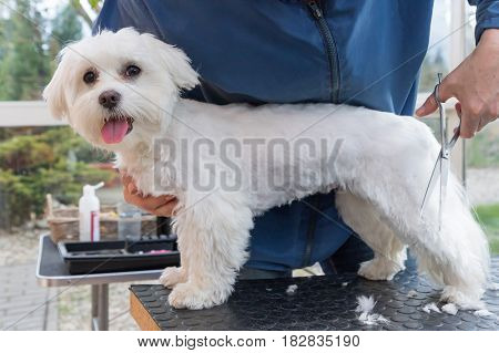 Cutting the rear leg of adorable white dog. The dog is standing on the grooming table and looking at the camera. All potential trademarks are removed.