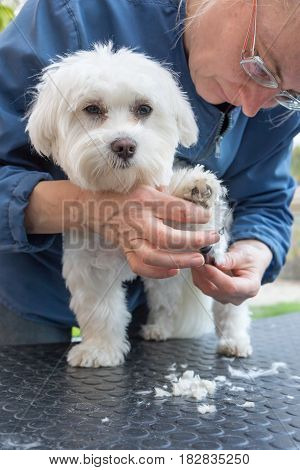 Combing the paw of white dog. The dog is standing on the grooming table with a deliciously raised paw and looking at he camera.