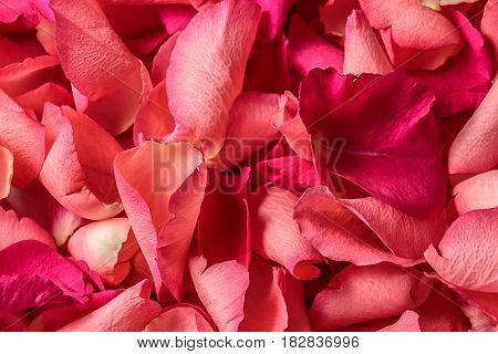 Background made of fresh red rose petals
