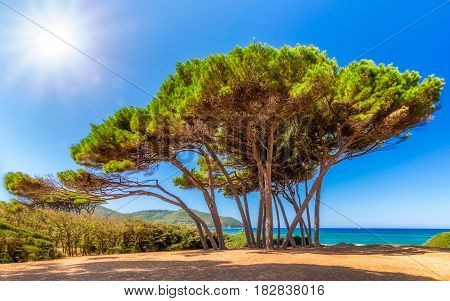 Gorgeous pine trees at the coast of Tuscany in Italy.
