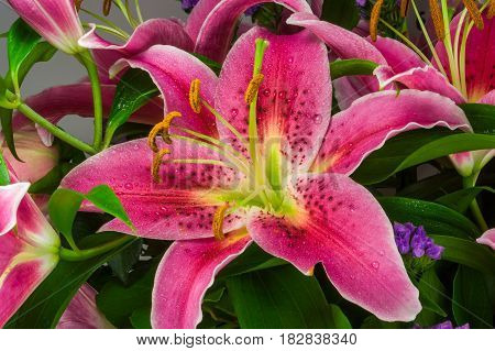 Macro picture of romantic pink lily with green leafs