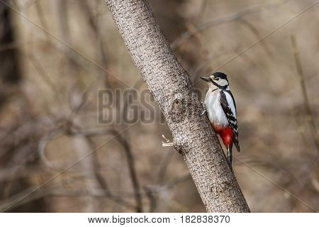 Female Great spotted woodpecker sitting on a tree