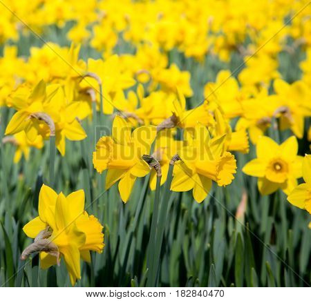Field of bright yellow daffodils in the sun