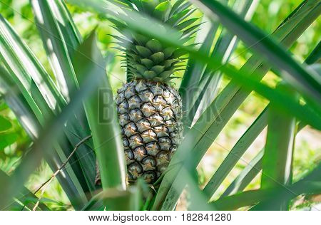 Pineapples are grown in Prachuap Khiri Khan Thailand