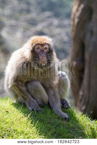 Portrait of a Barbary Macaque sitting on grass