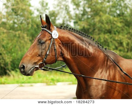 breed bay trakehner stallion  outdoor exebition  cloudy day poster