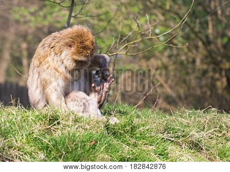 Barbary Macaque sat on grass looking at its foot