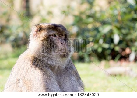 Portrait of a Barbary Macaque staring into the distance