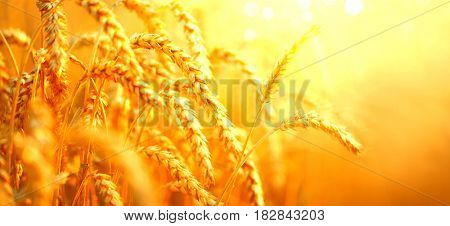 Wheat field. Ears of golden wheat close up. Beautiful Nature Sunset Landscape. Rural Scenery under Shining Sunlight. Background of ripening ears of meadow wheat field. Rich harvest Concept. Ads banner