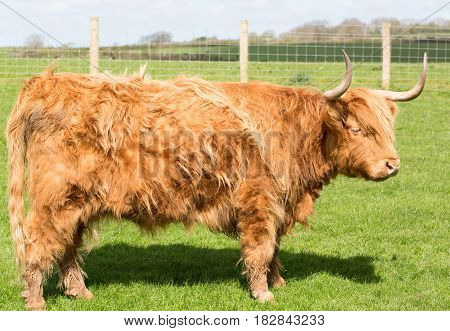 Highland cattle standing in a grass pasture