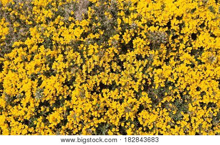 Large patch of bright yellow gorse flowers