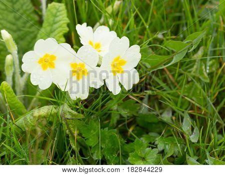Wild yellow primrose flowers growing on grass