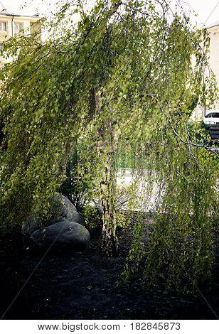 beautiful tree dwarf birch plant nature garden