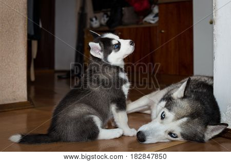 Puppy Siberian Husky sitting next to his mother. Puppy Siberian husky with mom at home.