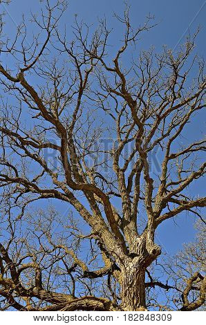 Gnarling limbs of a huge oak tree in the spring as the budding of leaves is in the first stage