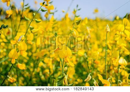 Yellow Crotalaria juncea flower in the field