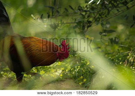close up of rooster foraging freely in the wild
